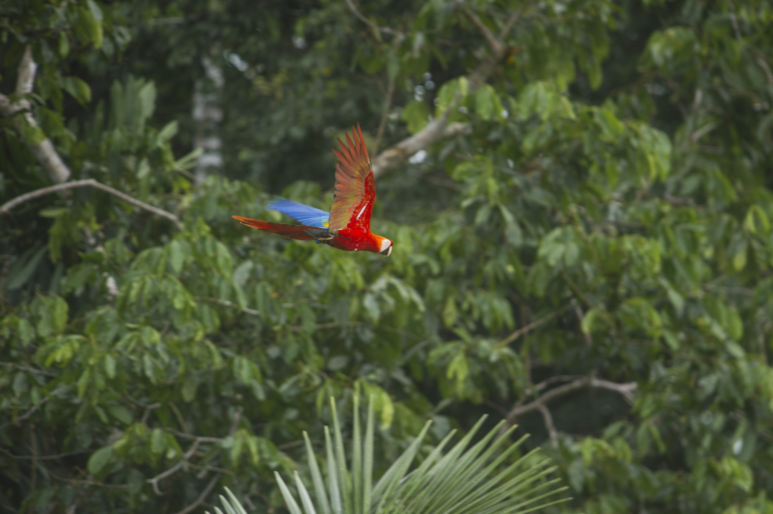 Scarlet Macaw (hellroter Ara) im peruanischen südlichen Amazonas